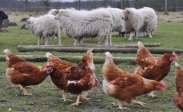 Hühner-Schafe