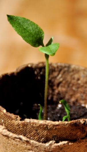Peperoni-Pflanze