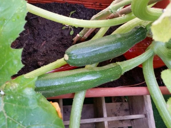Gemuese-Balkon-Zucchini-Tomaten-Paprika (2)