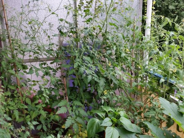 Gemuese-Balkon-Zucchini-Tomaten-Paprika (3)