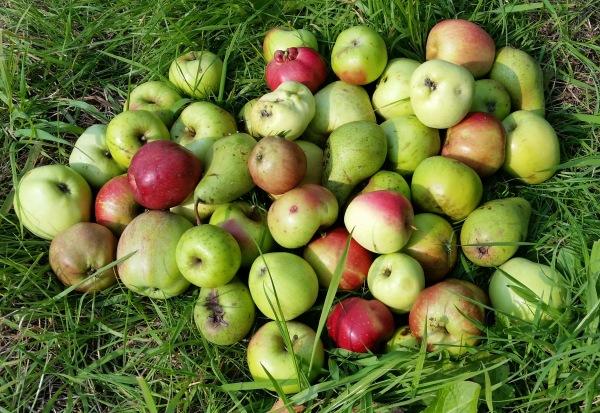 Äpfel-Birnen-Ernte (17)