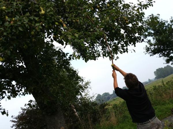 Äpfel-Birnen-Ernte (3)