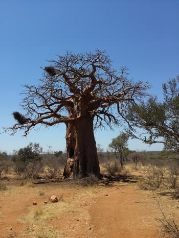 Baobab-Affenbrotbaum (1)