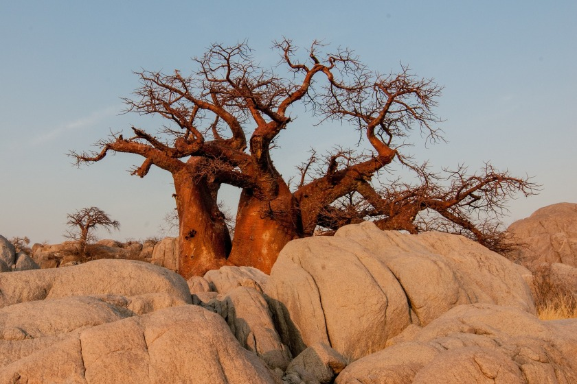 Baobab-Affenbrotbaum (2)